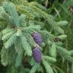 Picea Purpurea (Purple Cone Spruce) Seeds