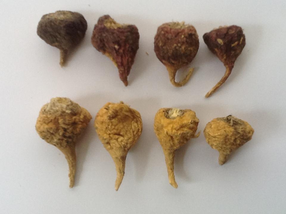 Maca Root Seeds Meyenii Black Maca Seeds