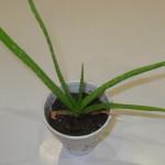 Aloe Vera (Common Aloe) -  Live Plant