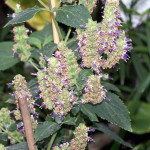 Pogostemon Cablin (True Patchouli) Seeds