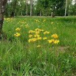 Arnica Montana (Leopard's Bane) Seeds