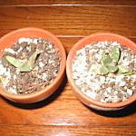 Ariocarpus Retusus 'Furfuraceus' (Furry Living Rock Cactus) Seeds