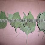 Leonotis Nepetifolia (Klip Dagga) Organic Leaf