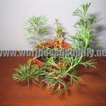 Peganum Harmala (Syrian Rue) Seeds