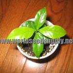 Coffea Arabica (Coffee) Seeds