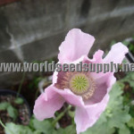 Papaver Somniferum (Florist's Pod Poppy) Seeds
