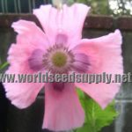 Papaver Somniferum (Single Lilac Poppy) Seeds
