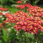 Achillea Millefolium 'Rubra' (Red Yarrow) Seeds
