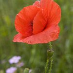 Papaver Rhoeas (Red Corn Poppy / Shirley Poppy) Seeds