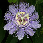Passiflora Incarnata (Purple Passion Flower) Seeds