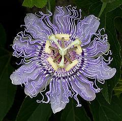 Passiflora Incarnata Seeds World Seed Supply