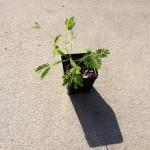 Acacia Maidenii (Maiden's Wattle) - Live Plant