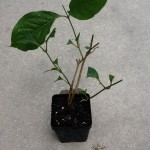 Banisteriopsis Muricata (Red Caapi) - Live Plant