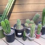 Trichocereus Mix Cactus Seeds