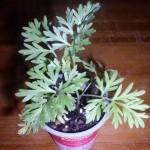 Artemisia Absinthium (Wormwood) - Live Plant