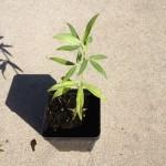 Zornia Latifolia (Maconha Brava) - 1 Live Plant