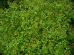 Capsicum Annuum var, Glabrisculum (Desert Tepin Pepper) Seeds