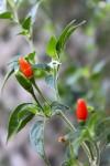 Capsicum Annuum var, Glabrisculum (Pequin Pepper) Seeds