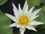 Nymphaea Ampla, white Water Lily (Dotleaf) Seeds