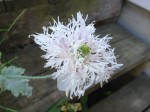 Papaver Somniferum (Lilac Pompon Poppy) Seeds