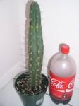 Trichocereus Cuzcoensis (Cuzco Cactus) Seeds
