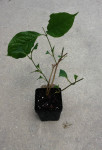 Banisteriopsism Muricata (Red Caapi / Yage) - Live Plant