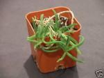 Delosperma Bosseranum (Ice Plant) Mesembryanthemum Seeds