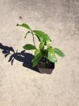 Pyschotria Alba (False Chacruna) Live Plant
