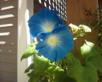 Ipomea Tricolor (Heavenly Blue Morning Glory) Seeds