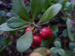 Arctostaphylos Uva-Ursi (Bearberry / Kinnikinnick) Seeds