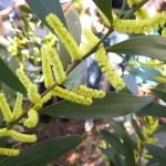 Acacia Longifolia (Sydney Golden Wattle) Seeds by World Seed Supply