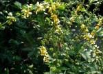 Agrimonia Eupatoria (Agrimony) Seeds