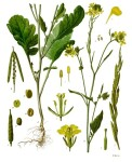 Brassica Nigra (Brown/ Black Mustard) Seeds