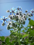 Borago Officinalis (Blue Borage / Starflower) Seeds