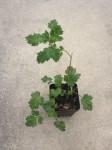 Artemisia Vulgaris (Mugwort) - Live Plant - FREE SHIPPING