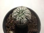 Astrophytum Asterias var. Super Kabuto – Live Cactus Plant