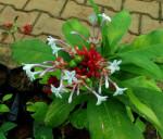 Rauwolfia Serpentina (Snakeroot) Seeds