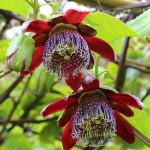 Passiflora Alata (Red Star Passion Flower) Seeds