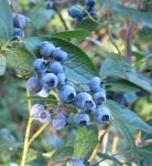 Vaccinium Corymbosum (Highbush Blueberry) Seeds