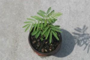 Desmanthus Illinoensis (500x333 pixels #2) NEW