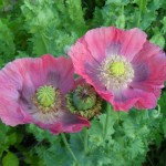 Papaver Somniferum (Hen's and Chicks Poppy) Seeds by World Seed Supply