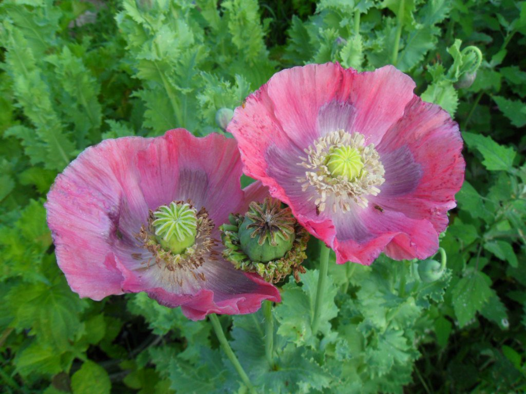 Hens And Chicks Poppy World Seed Supply