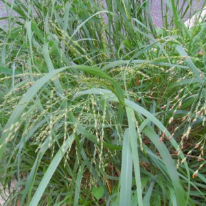 Panicum Virgatum (Switch Grass) Seeds by World Seed Supply