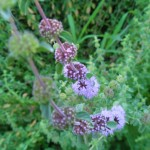Mentha Pulegium (Pennyroyal) Seeds by World Seed Supply