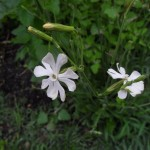 Silene Capensis (African Dream Root) Seeds by World Seed Supply