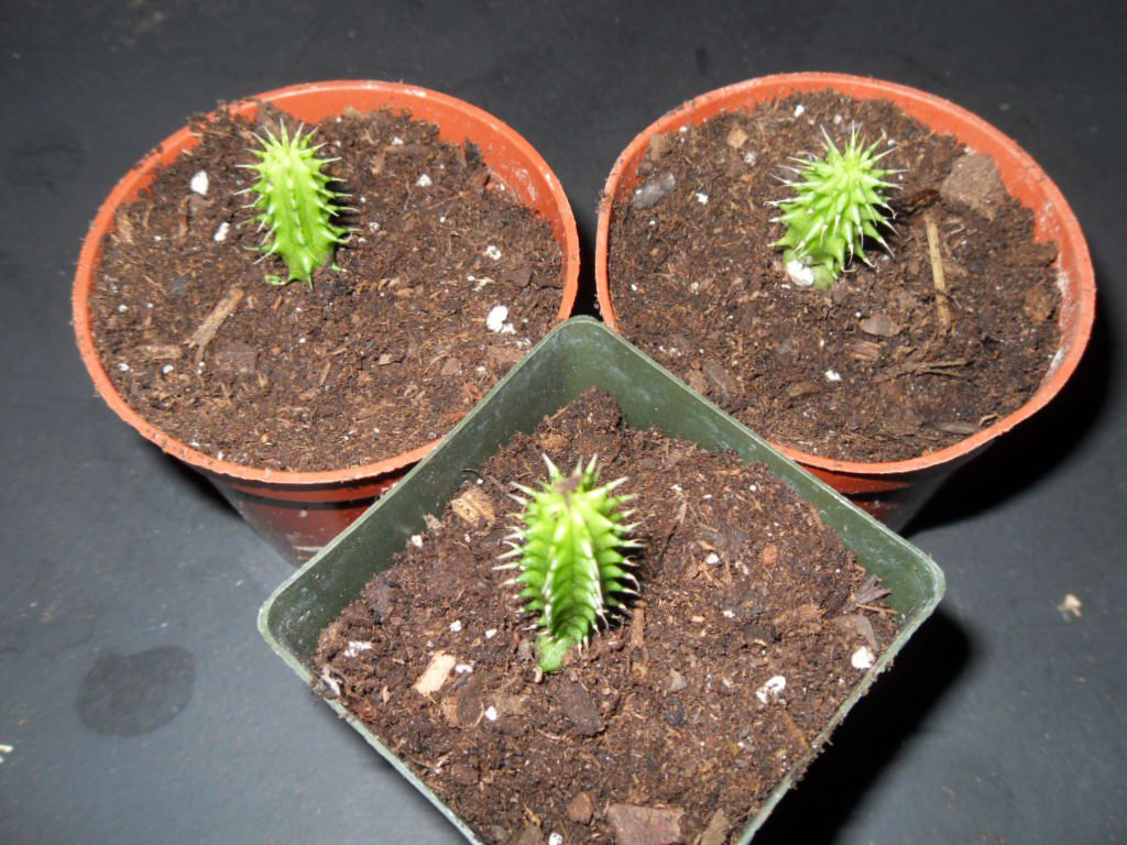 Hoodia Gordonii Seeds World Seed Supply