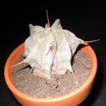 Astrophytum Ornatum (Showy Monk's Hood Cactus) Seeds by World Seed Supply