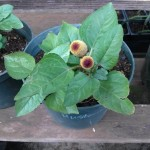 Spilanthes Acmella (Toothache Plant) Seeds by World Seed Supply