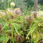 Hibiscus Cannabinus (Kenaf / Indian Hemp) Seeds by World Seed Supply