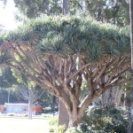Dracaena Draco (Dragon Tree) Seeds by World Seed Supply